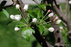 Профилактика опадения плодов фруктовых деревьев