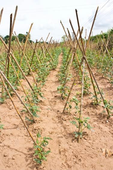 Выращивание экзотических растений надачном участке. Китайская спаржевая овощ вигна