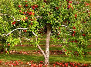 Болезни плодовых культур имеры борьбы сними