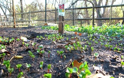 Спаржа: выращивание, применение