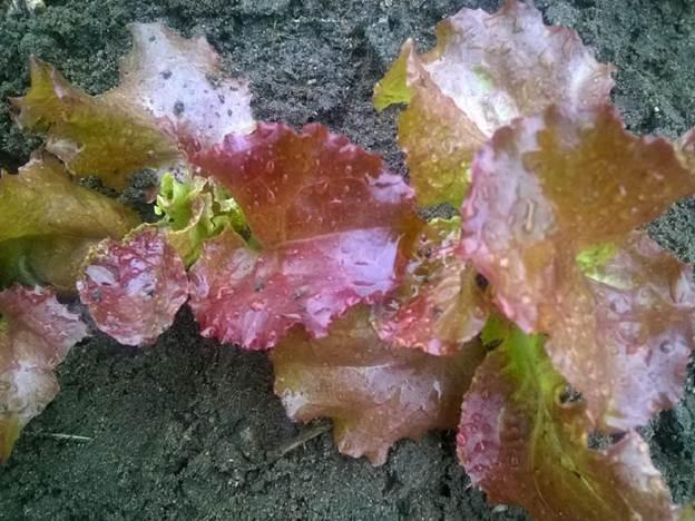 Что посадить вогороде виюле? Посадка овощных культур изелени