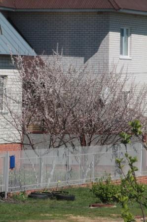 Как вырастить абрикос вумеренном климате