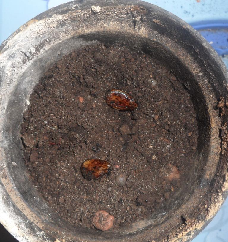 Выращивание дыни иарбуза вумеренном климате