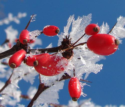 Обзор: высокорослые ягодные кустарники