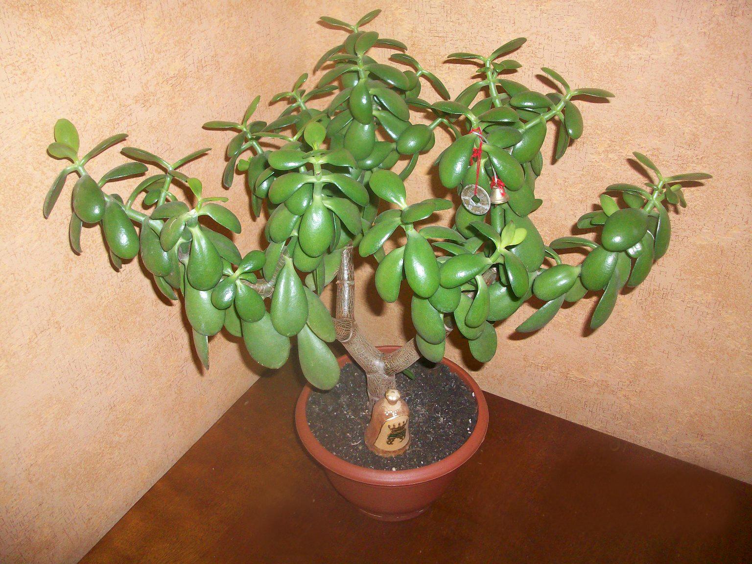 Денежное растение уход в домашних условиях 971