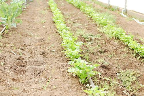 Как вырастить сельдерей?