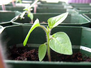 Выращивание физалиса