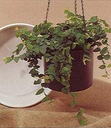 Выращивание фикусов иуход заними