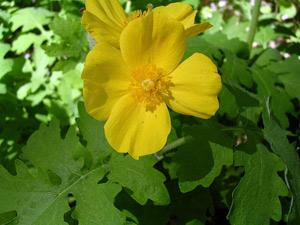 Выращивание лекарственных растений: провизорский огород