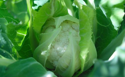 Выращивание хроматический капусты