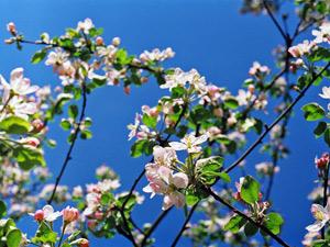 Популярные сорта яблонь для средней полосы России