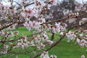 Выращивание вишни