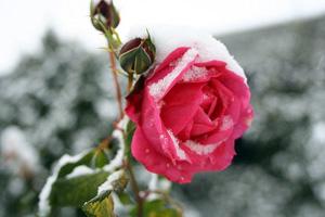 Как подготовить розы кзиме