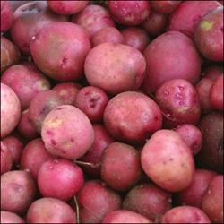 Как получить досрочный хлебород картофеля