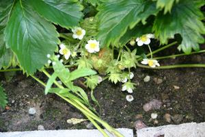 Клубника: секреты выращивания