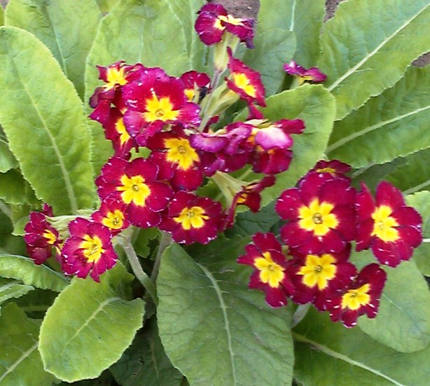 Советы повыращиванию примулы садовой: посадка, размножение, уход