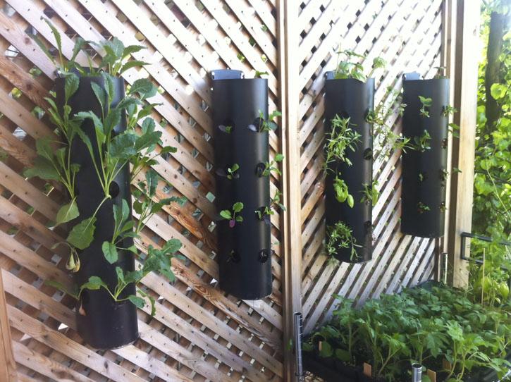 Выращивание вьющейся клубники навертикальных грядках