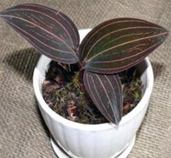 Выращивание орхидеи вдомашних условиях
