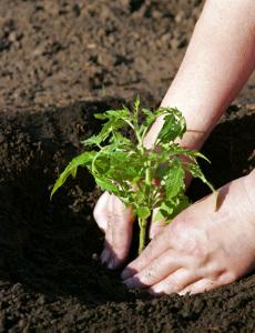 Метод Миттлайдера: уход  зарастущей рассадой ивысадка рассады