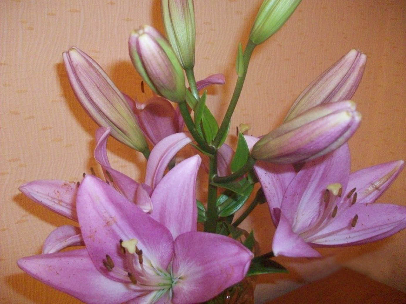 Садовые лилии: вскармливание иуход