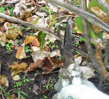 Осенние работы навинограднике. Обрезка винограда осенью