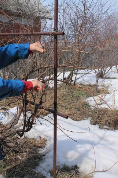 Как справедливо обрезать виноград