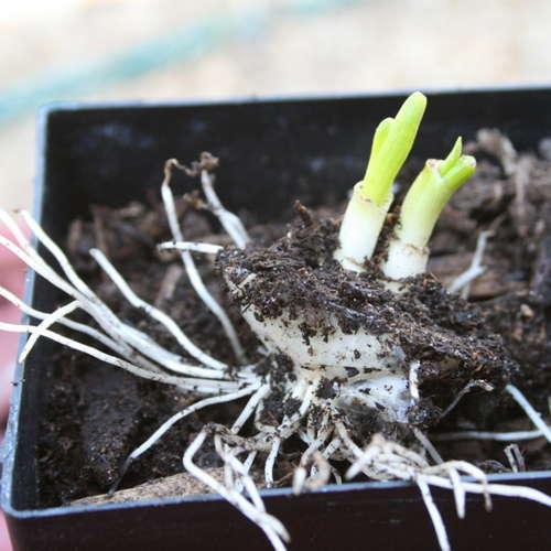 Выращивание апостол изобрезка луковицы