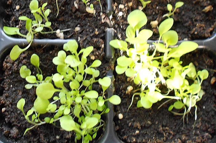Выращивание салата наподоконнике ивоткрытом грунте