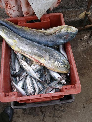 Как сохранить пойманную рыбу
