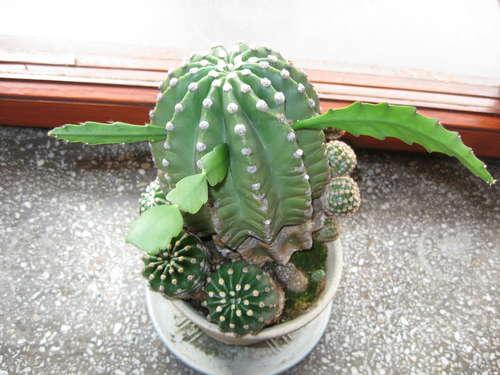 Как привить суккуленты кдомашним кактусам
