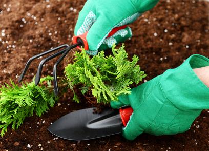Особенности выращивания иухода затуей
